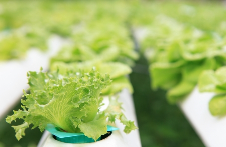 hydroponics vegetable clean food photo