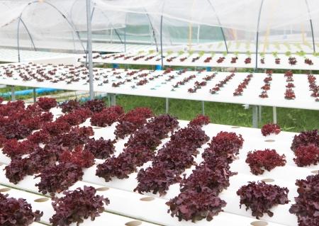 hydroponics vegetable clean food photo