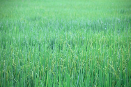 green rice field in morning fresh felling photo