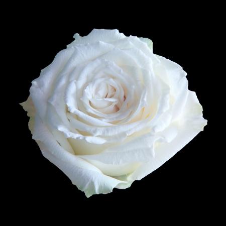 black and white plant: white rose isolated black background Stock Photo