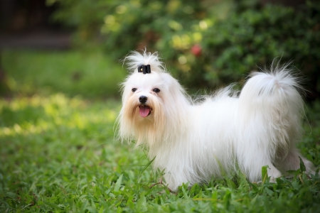 white maltese dog standing in home garden photo