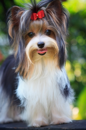 biver yorkshire terrier dog in home Stock Photo - 14585432