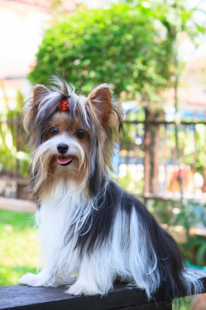 biver yorkshire terrier dog in home  Stock Photo - 14585435