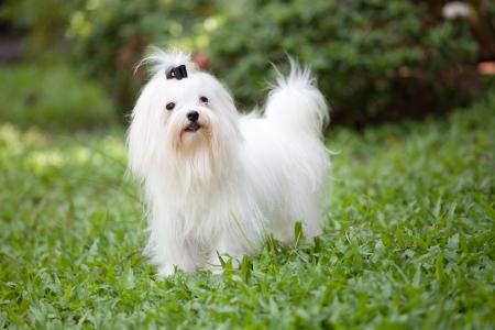 white maltese dog standing in home garden  Stock Photo