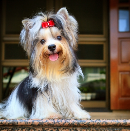 brown and black dog face: biver yorkshire terrier dog in home
