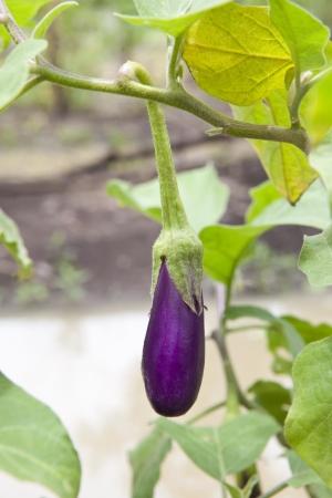 violaceous: purple eggplant on tree
