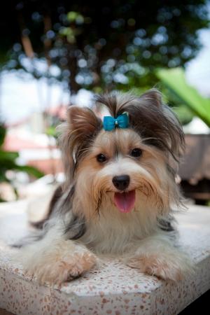 pampered pets: biver yorkshire terrier dog in home