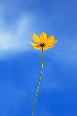 single yellow flower and blue sky on sunny day photo