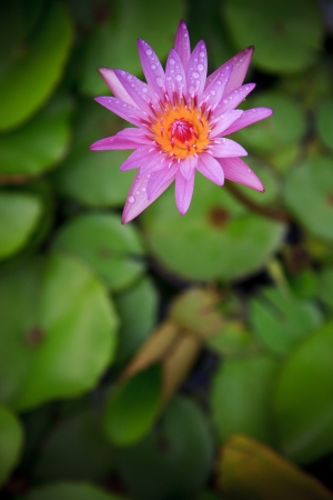 purple lily lotus and green leaves background photo