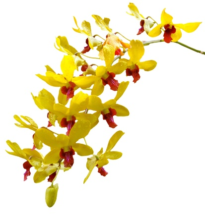 orchid tree: bouquet of yellow orchid flower with fresh water dew on leaves Stock Photo