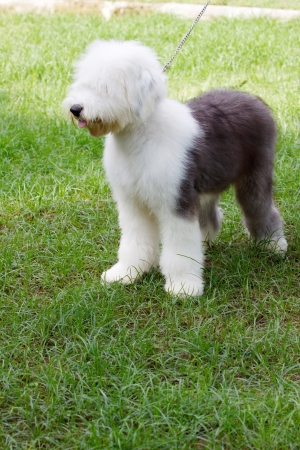sheep dog: old english sheep dog standing in green grass field Stock Photo