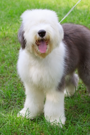 sheepdog: old english sheep dog standing in green grass field Stock Photo