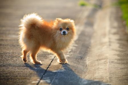 pomeranian: face of pomeranian dog relaxing emotion in the home garden