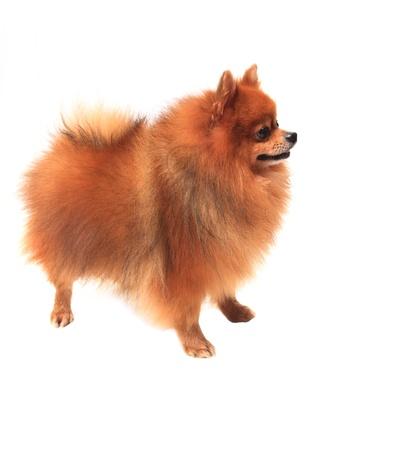 pomeranian dog on white background photo