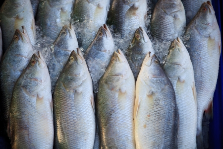 silver perch: Silver perc White perch fish fresh in the market  Stock Photo