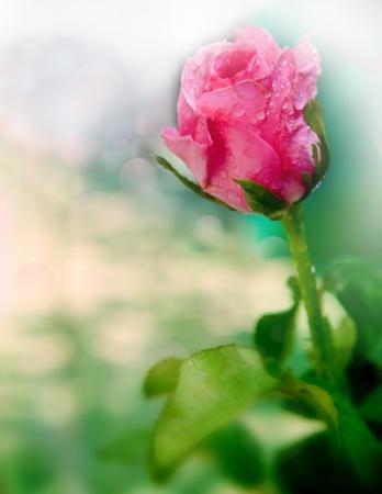 rosa com orvalho da água fresca profundidade de campo