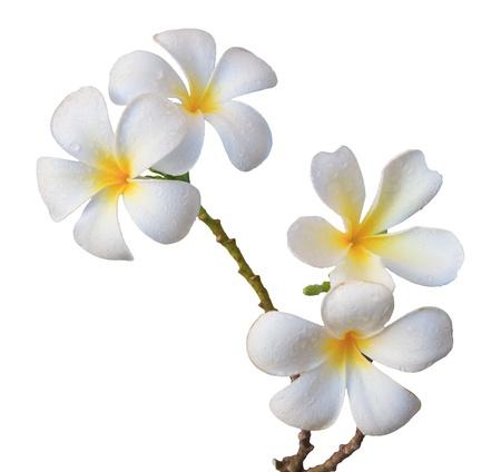 tropical border: white frangipani flower isolated white