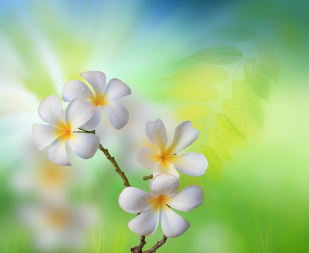 white frangipani flower with green nature background