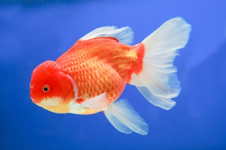 gold fish in middle water and blue scene background photo