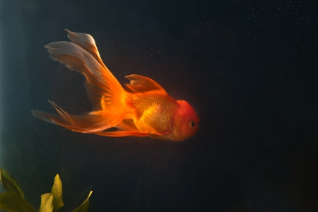 gold fish swiming  in aquarium Stock Photo - 16472924