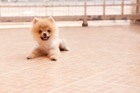 face of pomeranian dog in home garden  photo