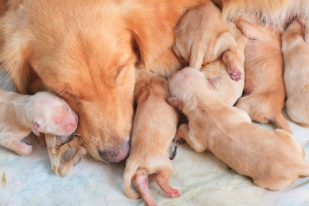 group of first day golden retriever puppies natural shot  photo