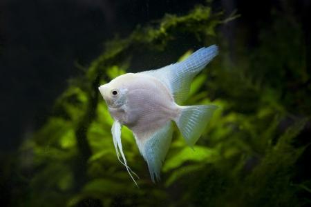 tropical fresh water fish: white Angel fish in green aquarium