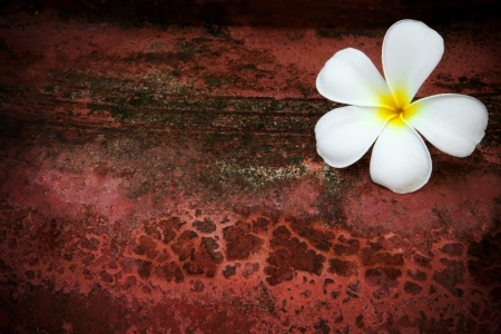white frangipani flower on red grungy background photo