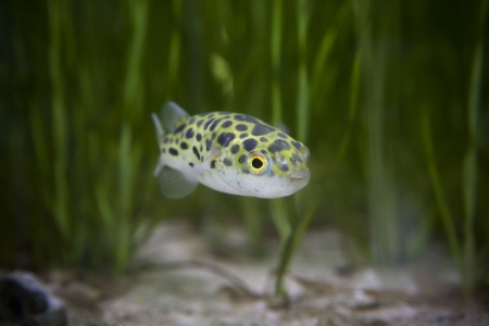 kingkong fish or puffer fish or green bowl fish or Green spotted puffer Stock Photo - 17391784