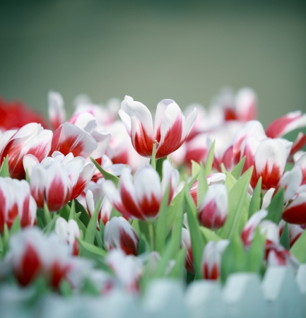group of white and red tulip flowers in the garden photo