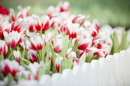 red and white  tulip flower in the garden Stock Photo - 17432095