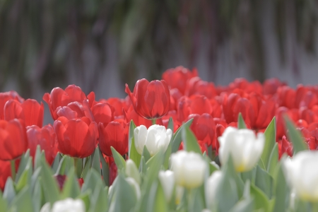 beautiful red tulips close up: red and white tulip flowers in  garden Stock Photo
