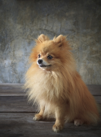 face of pomeranian dog sitting on wood floor photo