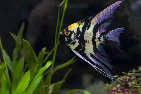 anubias: Pescados del �ngel en su uso en acuarios verde para usos m�ltiples Foto de archivo