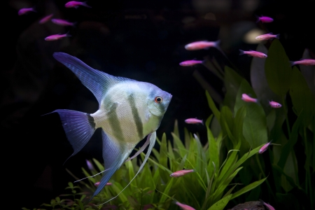 angle fish  in aquarium photo