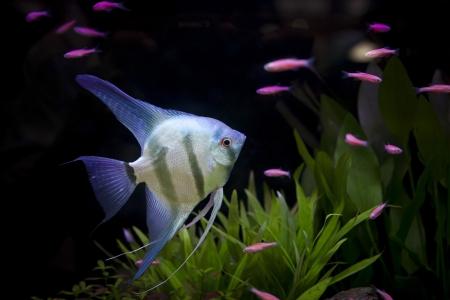 aquatic plant: angle fish  in aquarium