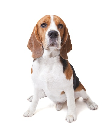 brown and black dog face: face of beagle dog on white background  Stock Photo