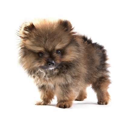 close up face of pomeranian puppy on white use for dog theme photo