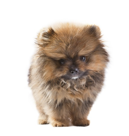 baby of pomeranian dog isolated white in studio pack shot photo