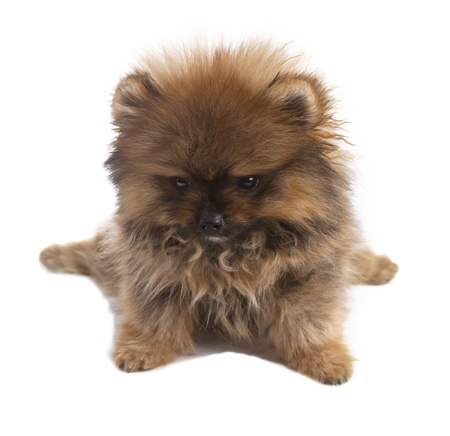 pomeranian puppy dog on white photo