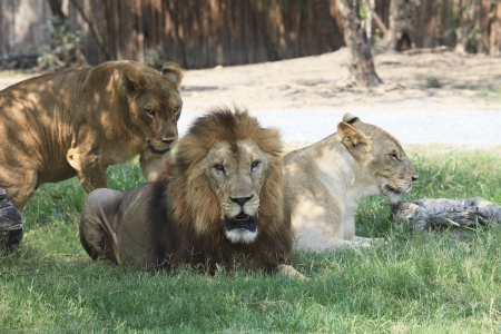 female lion: lion male and female lying on green grass field use for multipurpose Stock Photo