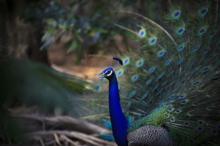 blue peafowl: natural shot of indian peacock with beautiful tail plumage  in jumgle wild Stock Photo