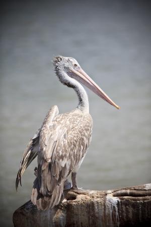 billed:  portrait of spot billed pelican bird with fresh water pool background