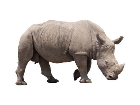 animal body part: huge rhino isolated on white Stock Photo