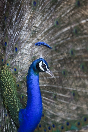 blue peafowl: file of natural shot of indian peacock with beautiful tail plumage  in jumgle wild