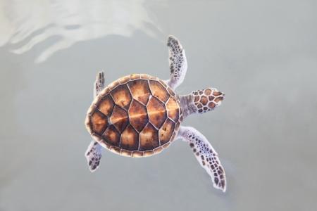poca natación de tortugas marinas en el agua de mar es el tema de la vida marina