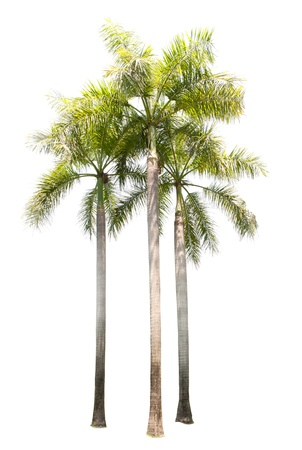 three palm trees: group of palm tree plant isolated on white use for multipurpose