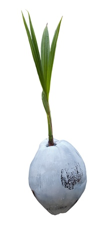 coconut seedlings: Sprout of coconut tree isolated on white background  for multipurpose