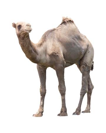 camel in desert: camel isolated white for multipurpose