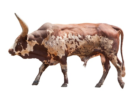 longhorn cattle: watusi  big ox cow isolated white